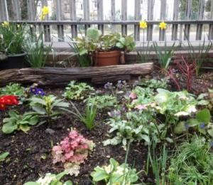 New cornus, emerging heuchera, daffs and polyanthus in shady triangle