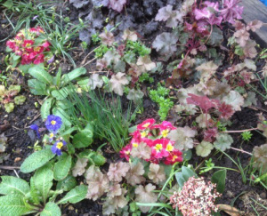 Polyanthus and heuchera in the shady triangle
